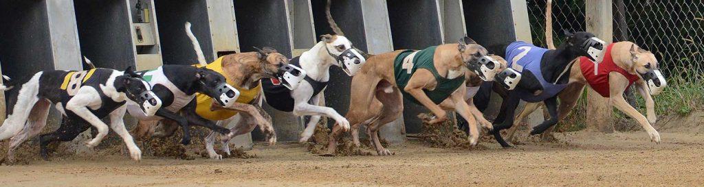 greyhound betting